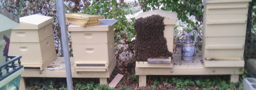 Las Vegas Beehive Removal No Kill Bee Relocation Backyard Bee Removal ...
